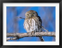 Framed Zimbabwe. Close-up of pearl spotted owl on branch.
