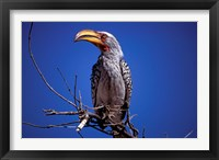 Framed Yellow-Billed Hornbill, Tarangire, Tanzania