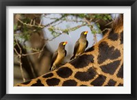 Framed Yellow-Billed Oxpeckers on the Back of a Giraffe, Tanzania