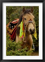 Framed Horse at the Horse Racing Festival, Zhongdian, Deqin Tibetan Autonomous Prefecture, Yunnan Province, China