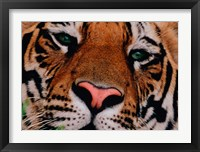 Framed Face of Bengal Tiger, India