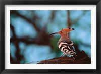 Framed Common Hoopoe in Bandhavgarh National Park, India