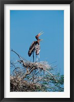 Framed pair of Painted Stork in a tree, India