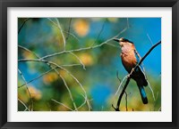 Framed Indian Roller in Bandhavgarh National Park, India