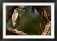 Framed Little Heron in Bandhavgarh National Park, India