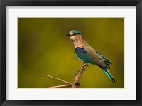 Framed Indian Roller, Bandhavgarh National Park, India