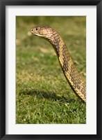 Framed King Cobra snake, South East Captive