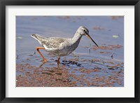 Framed Bird, Redshank, Ranthambhor National Park, India
