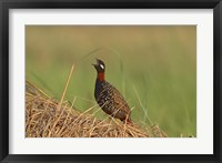 Framed Black Partridge bird, Corbett NP, Uttaranchal, India