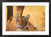 Framed Close up of Royal Bengal Tiger, Ranthambhor National Park, India