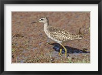 Framed Green Sandpiper, Ranthambhor National Park, India.