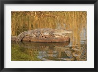 Framed Marsh Crocodile, Ranthambhor National Park, India