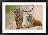 Framed Pair of Royal Bengal Tigers, Ranthambhor National Park, India