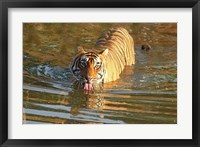 Framed Royal Bengal Tiger in the water, Ranthambhor National Park, India