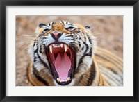 Framed Royal Bengal Tiger mouth, Ranthambhor National Park, India