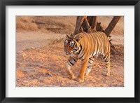 Framed Royal Bengal Tiger, India
