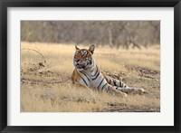 Framed Royal Bengal Tiger resting, India