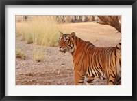 Framed Royal Bengal Tiger, Ranthambhor National Park, India