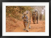 Framed Royal Bengal Tigers Along the Track, Ranthambhor National Park, India