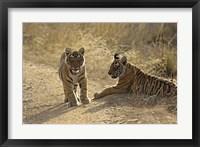 Framed Young Royal Bengal Tiger, Ranthambhor National Park, India