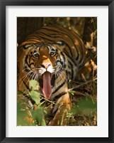 Framed Bengal Tiger, Madhya Pradesh, Bandhavgarh, India