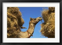 Framed Camel Carrying Straw, Pushkar, Rajasthan, India