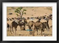 Framed Camel Market, Pushkar Camel Fair, India