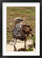 Framed Changeable Hawk Eagle, Corbett National Park, India