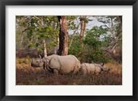Framed One-horned Rhinoceros and young, Kaziranga National Park, India