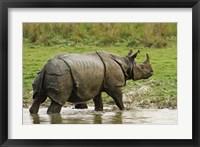 Framed One-horned Rhinoceros, coming out of jungle pond, Kaziranga NP, India