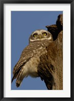 Framed Spotted Owlet bird, Bharatpur NP, Rajasthan. INDIA