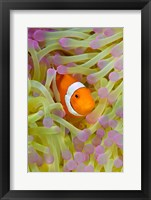 Framed Anemonefish in protective anemone, Raja Ampat, Papua, Indonesia