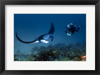 Framed Manta ray swims past scuba diver, Komodo NP, Indonesia
