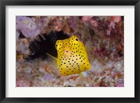 Framed Box fish swims amid coral