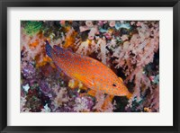 Framed Coral trout swims among reef
