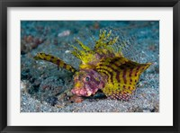 Framed Red dwarf lionfish
