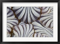 Framed Sea anemone, Marine life