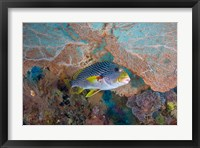 Framed Sweetlip fish, sea fan coral