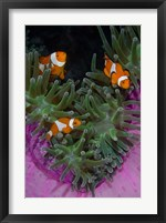 Framed Clownfish swim among anemone tentacles, Raja Ampat, Indonesia