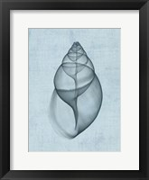 Framed Achatina Shell (light blue)