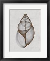 Framed Achatina Shell