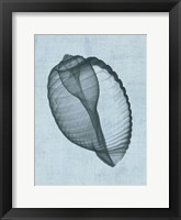 Banded Tun Shell (light blue) Framed Print