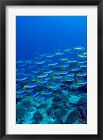 Framed Blue-Gold Fusilier fish, Raja Ampat, Indonesia