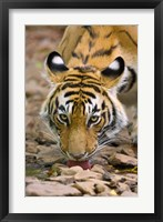 Framed Tiger Drinking from A Creek, Ranthambore National Park, Rajasthan, India