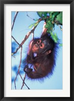 Framed Baby Orangutan, Tanjung Putting National Park, Indonesia