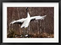Framed Japanese crane, Hokkaido, Japan