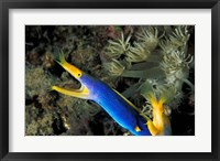 Framed Indonesia, Sulawesi, Blue ribbon eel marine life