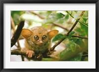 Framed Oceania, Indonesia, Sulawesi Tarsier, Primate