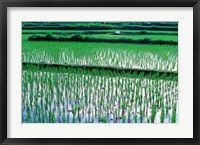 Framed Rice Cultivation, Bali, Indonesia