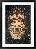 Framed Indonesia, Stargazer (Uranoscopidae sulphureus)